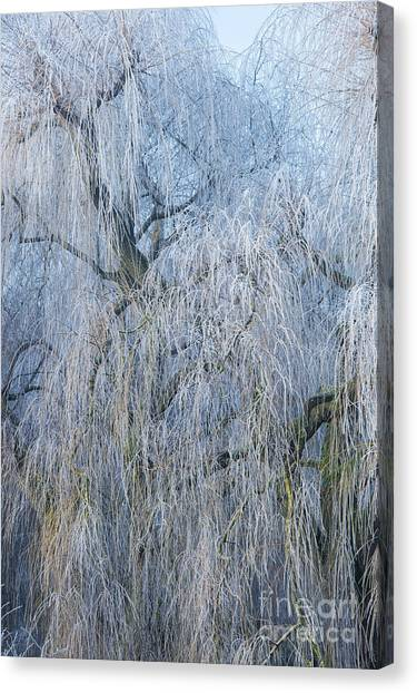 Weeping Willows Canvas Print - A Winter Willow Weeps by Tim Gainey