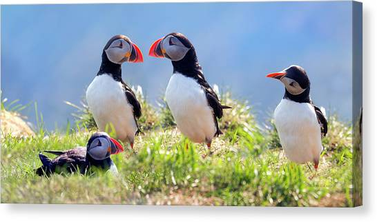 Puffins Canvas Print - A World Of Puffins by Betsy Knapp