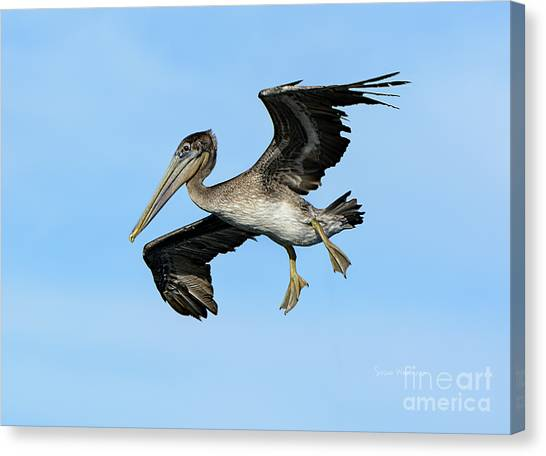 A Young Brown Pelican Flying Canvas Print