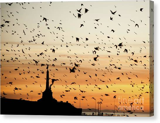 Aberystwyth Starlings At Dusk Flying Over The War Memorial Canvas Print
