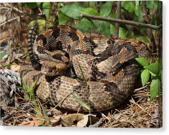 Timber Rattlesnakes Canvas Print - About To Get Bitten by Dana  Oliver