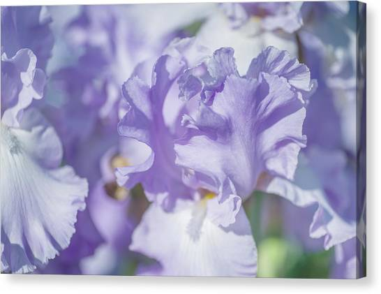 Absolute Treasure Closeup. The Beauty Of Irises Canvas Print