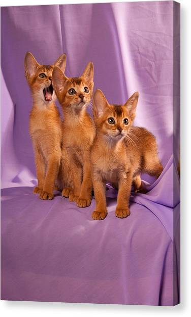 Lilac Abyssinian Cat