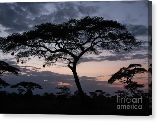 Acacia Trees Sunset Canvas Print