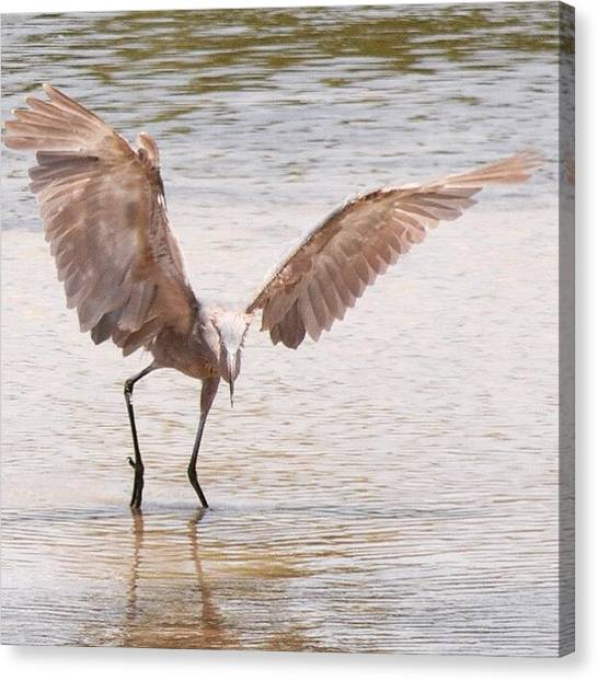 Water Birds Canvas Print - Reddish Egret by Heidi Hermes