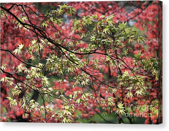 Acer Leaves In Spring Canvas Print