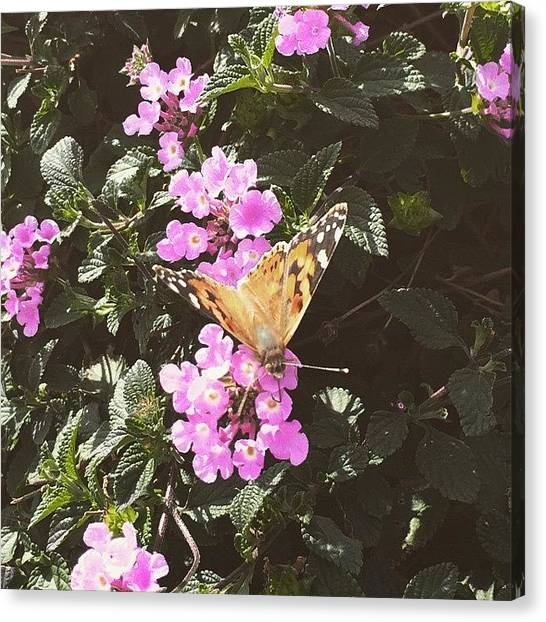 Santa Monica Canvas Print - Butterfly by Lana Rushing