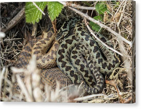 Adder Pair Canvas Print