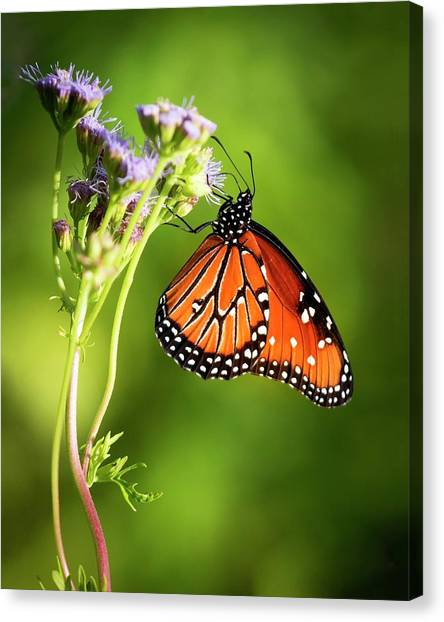Addicted Queen Butterfly Canvas Print