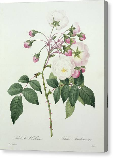 Rose In Bloom Canvas Print - Adelia Aurelianensis by Pierre Joseph Redoute