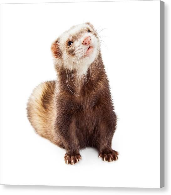 Cutout Canvas Print - Adorable Pet Ferret Looking Up by Susan Schmitz