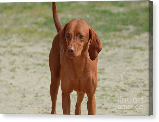 Adorable Redbone Coonhound Standing Alone Canvas Print