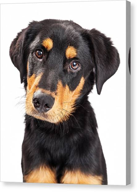 Rottweilers Canvas Print - Adorable Rottweiler Crossbreed Puppy Close-up by Susan Schmitz