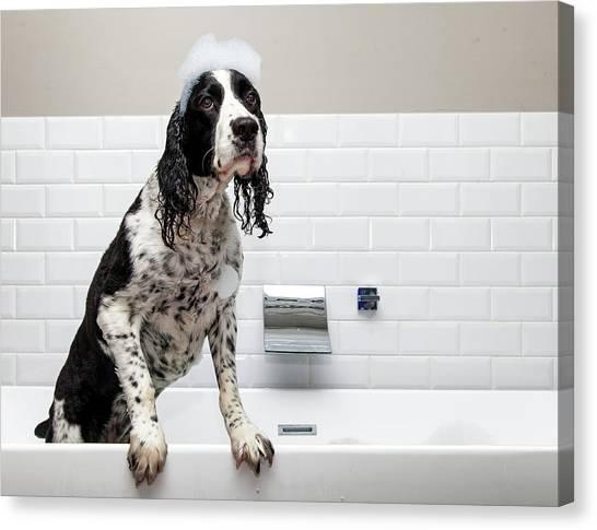 Adorable Springer Spaniel Dog In Tub Canvas Print