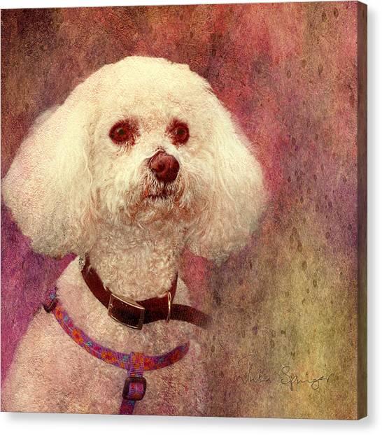 Adoration - Portrait Of A Bichon Frise  Canvas Print