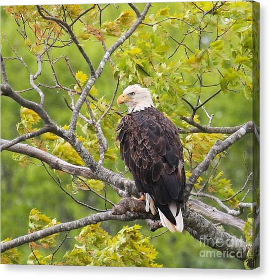 Adult Bald Eagle Canvas Print