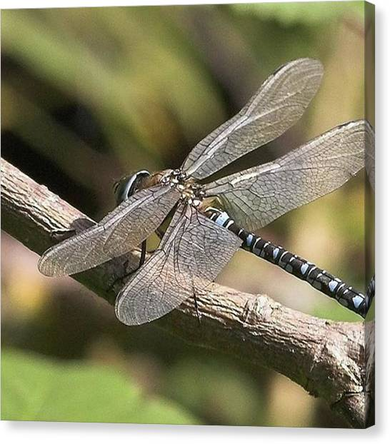 Animal Canvas Print - Aeshna Juncea - Common Hawker Taken At by John Edwards