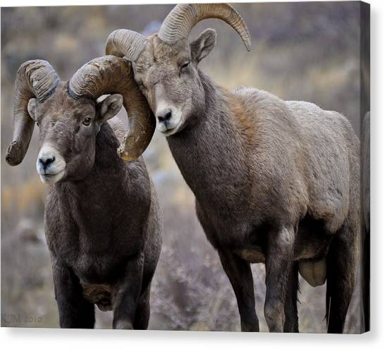 Affectionate Rams Canvas Print