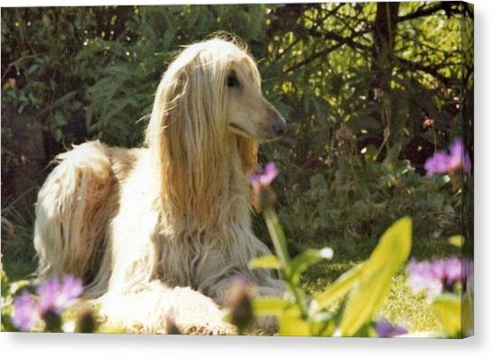 Golden Retrievers Canvas Print - Afghan Hound by Super Lovely