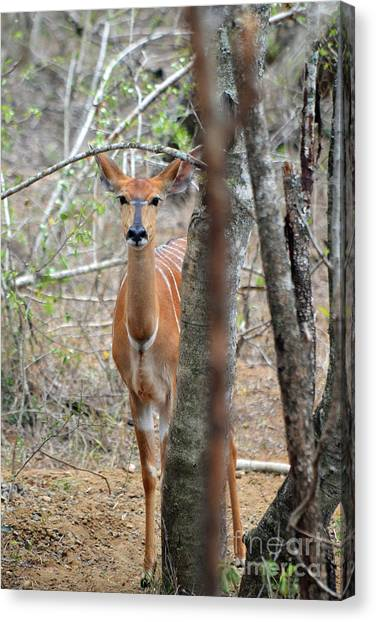 Africa Safari Bushbuck 2 Canvas Print