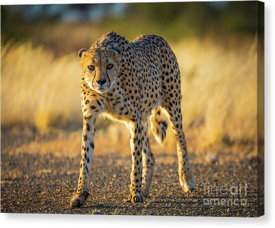Crouching Canvas Print - African Cheetah by Inge Johnsson