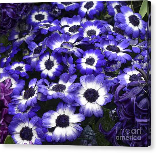African Daisy Purple And White Canvas Print