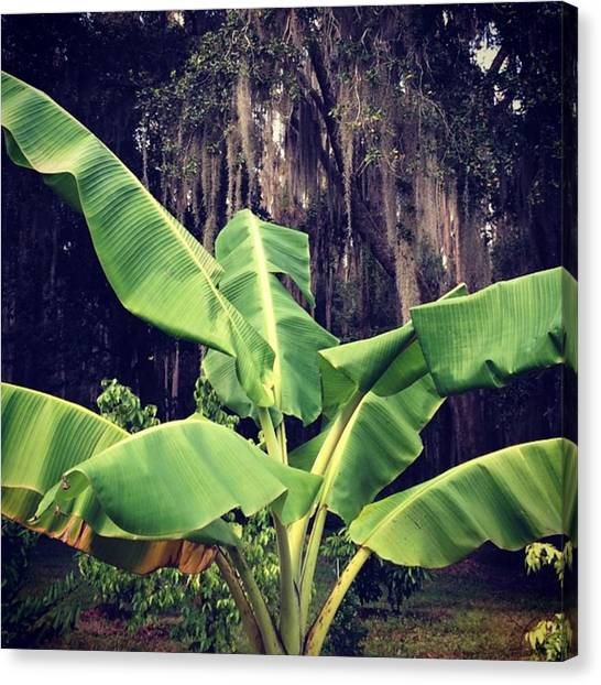 Banana Tree Canvas Print - African Giant Banana In The Orchard by Jessica O'Toole