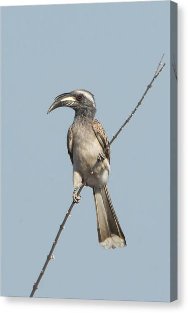 Hornbill Canvas Print - African Grey Hornbill Tockus Nasutus by Panoramic Images