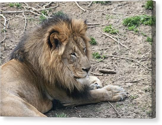 Beast Canvas Print - African Lion by Tom Mc Nemar