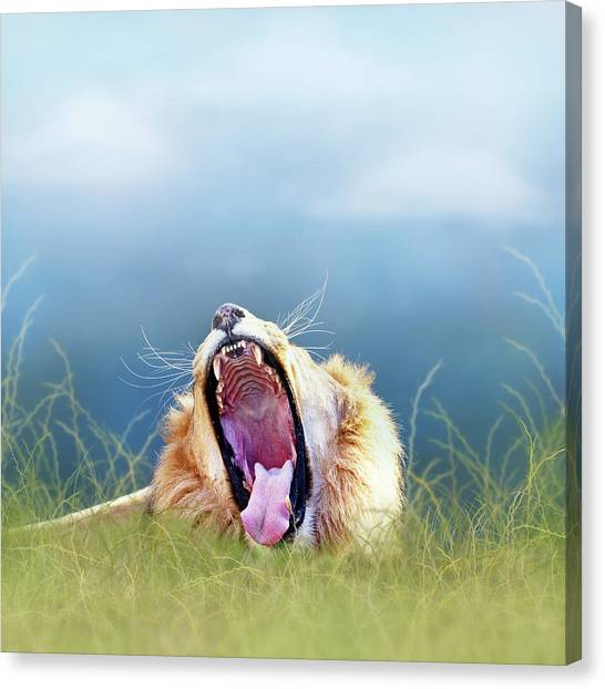 Lions Canvas Print - African Lion Yawning In Tall Grass by Susan Schmitz