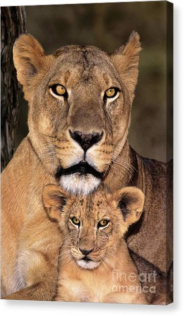 Canvas Print featuring the photograph African Lions Parenthood Wildlife Rescue by Dave Welling