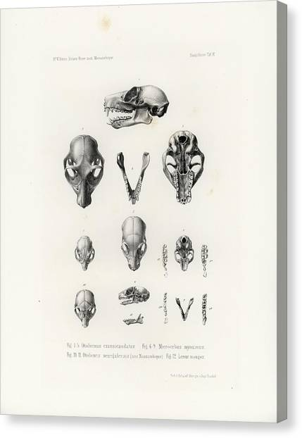 African Mammal Skulls Canvas Print