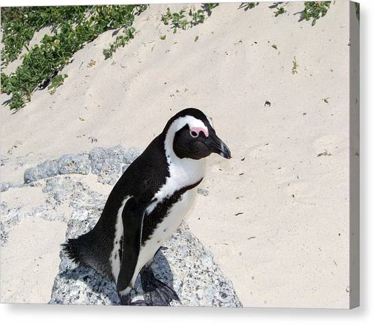 African Penguin Canvas Print by Evelyn Patrick