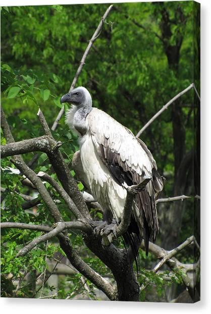 African Vulture Canvas Print by George Jones
