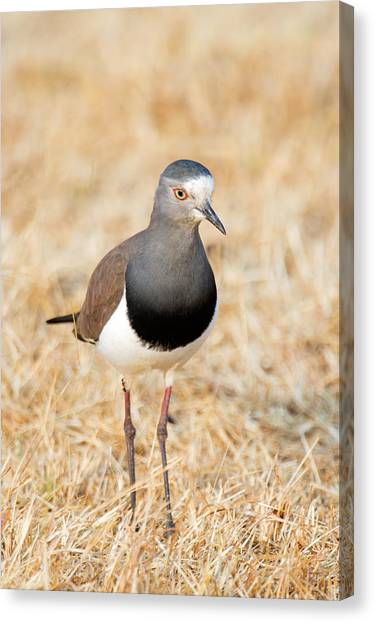 Lapwing Canvas Print - African Wattled Lapwing Vanellus by Panoramic Images