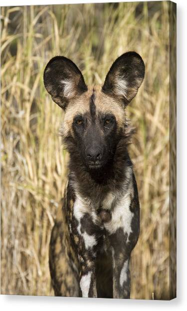 Canvas Print featuring the photograph African Wild Dog Okavango Delta Botswana by Suzi Eszterhas