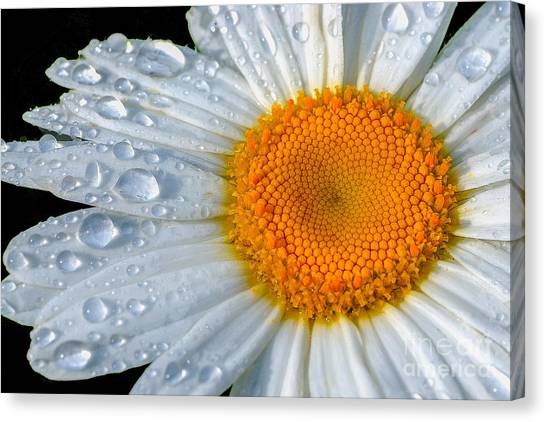 Daisy Canvas Print - After The Rain by Neil Doren