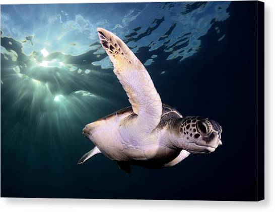 Turtles Canvas Print - Afternoon by Sergi Garcia