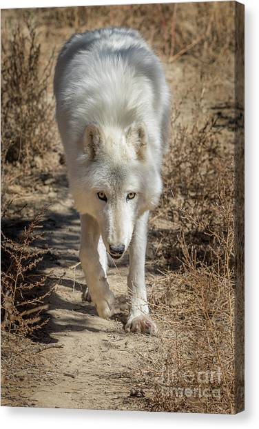 Arctic Wolf Canvas Print - Afternoon Stroll by Jeremy Dufault