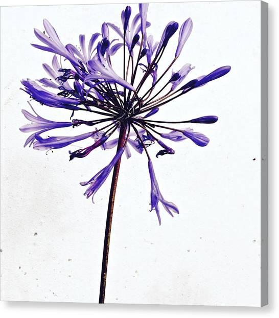 Flowers Canvas Print - Agapanthus 2 by Julie Gebhardt