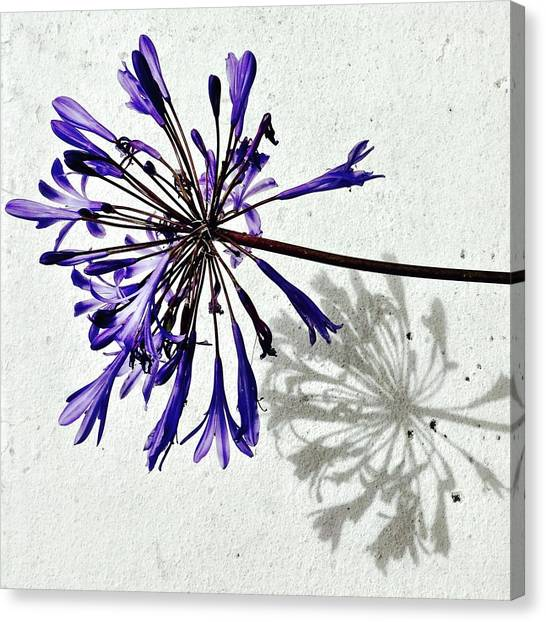 Flowers Canvas Print - Agapanthus by Julie Gebhardt