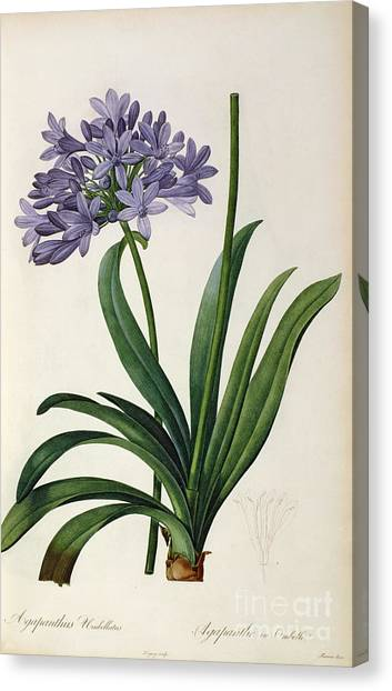 Purple Canvas Print - Agapanthus Umbrellatus by Pierre Redoute