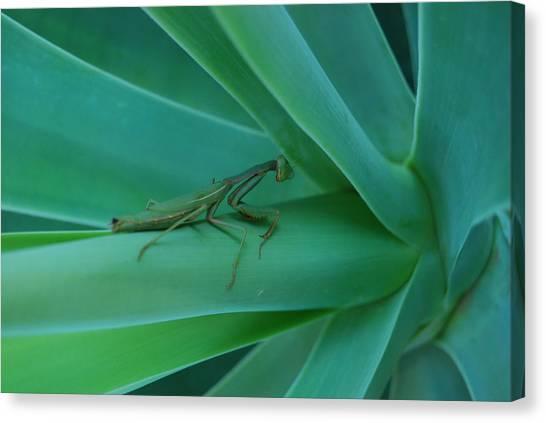 Agave Praying Mantis Canvas Print