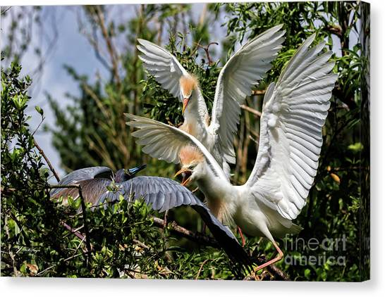Aggression Between Cattle Egrets And Tricolored Heron Canvas Print