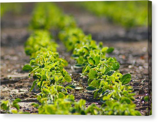 Agriculture- Soybeans 1 Canvas Print