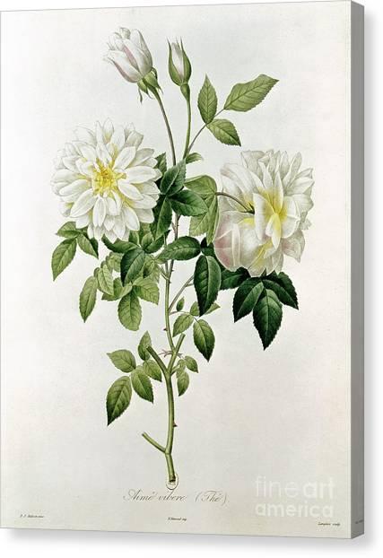 19th Century Canvas Print - Aime Vibere by Pierre Joseph Redoute