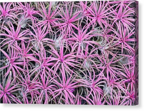 Bromeliad Canvas Print - Airplants by Tim Gainey