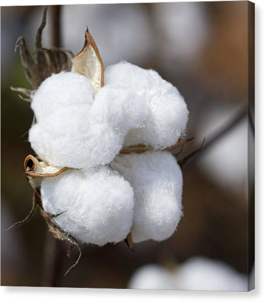 Alabama Cotton Boll Canvas Print
