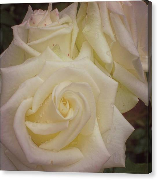 Alabaster Roses Canvas Print by JAMART Photography