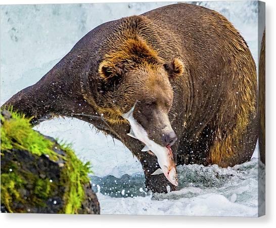 Alaska Brown Bear Canvas Print